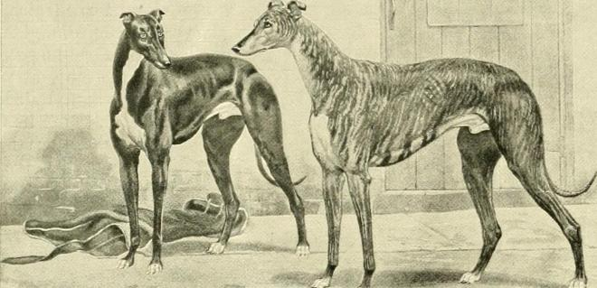 Drawing of two greyhounds standing